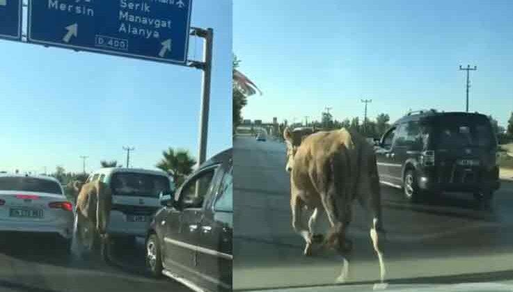 Antalya'da firari dana araç trafiğinde ilerledi