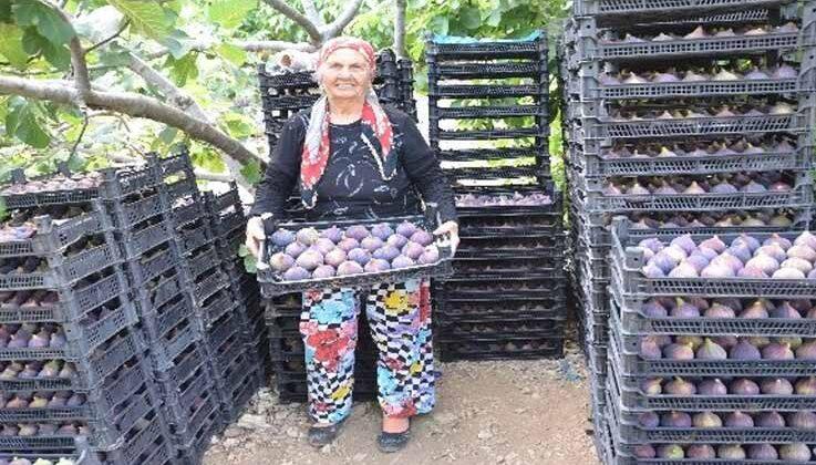 Antalya'da 800 rakımlı köyde taze incir hasadı başladı