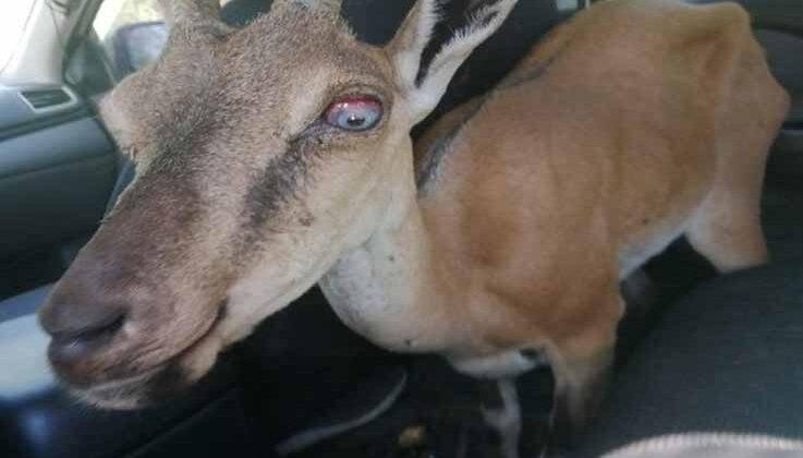 Yaralı yaban keçisi, tedavisi için hayvanat bahçesine getirildi