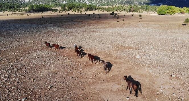 Yangından etkilenen Antalya'nın vahşi güzelliği 'yılkı atları' yaşam alanlarına geri döndü